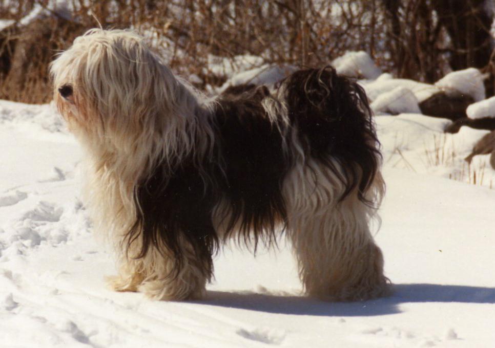 Tibetan Terrier Standard